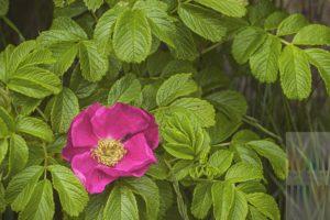 Kräftig pink blühende rosa rugosa besser bekannt unter den Namen Kartoffelrose, Apfelrose, Hundsrose, Kamtschatka Rose oder einfach Sylt Rose