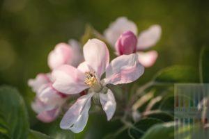 Zartrosa Blüte eines Apfelbaumes in der Frühlingssonne