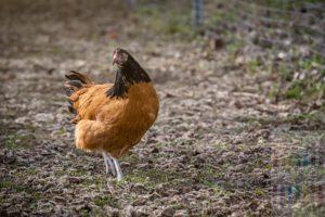 Henne der Rasse Vorwerkhuhn im Freilauf. Die Hühner stehen auf der Liste der gefährdetesn Nutztierrassen