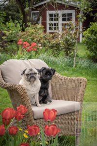 Zwei Mopshündinnen (beige: 10 Jahre alt, silbergrau: 8 Monate jung) sitzen auf einem Korbstuhl in einem Frühlingsgarten