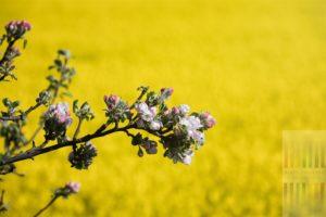 Zweig eines blühenden Apfelbaumes vor einem in voller Blüte stehenden Rapsfeldes